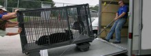 UF CVM VETS team prepares rescued bear and her cub for release back into the Osceola National Forest after being treated for burns received during the 2007 Bugaboo fires in North Florida