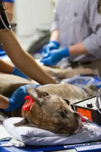 Veterinary anesthesiologists prepare the panther for surgery.