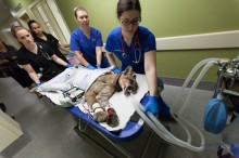 Panther being taken to surgery